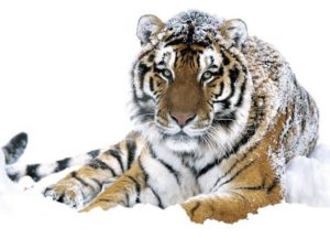 """Дополнение к вкладу - продукт """"Амурский тигр"""""""